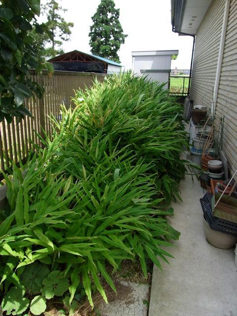 家の脇で生い茂る茗荷